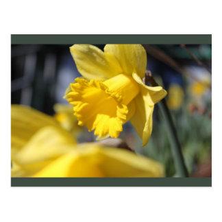 flores amarillas del jardín narciso postales