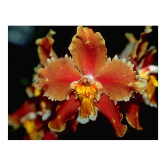 Flores anaranjadas de Oncidium Postal