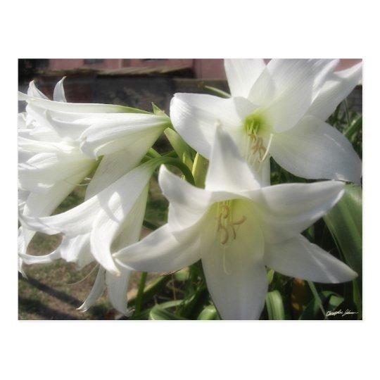 Flores blancas gloriosas 5 postal