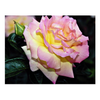 """Flores blancas híbridas de la """"paz"""" del rosa de té postal"""