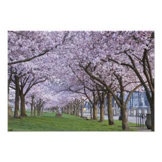 Flores de cerezo a lo largo del río de Willamette, Fotografia