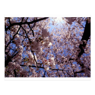 Flores de cerezo postal