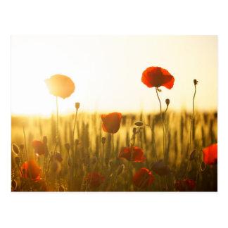 Flores de la amapola en luz del sol postal