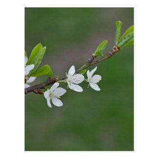 Flores del cerezo postal