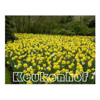 Flores en Keukenhof, narcisos de oro Postal