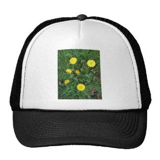 Flores florecientes de la margarita gorros