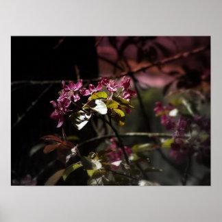 flores radiantees rojos 4 de la manzana de cang poster