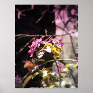flores radiantees rojos 5 de la manzana de cang poster