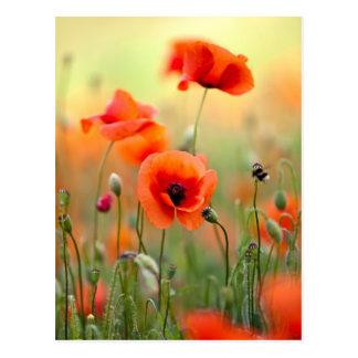 Flores rojas de la amapola postal