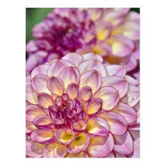 Flores rosadas hermosas de la dalia postal