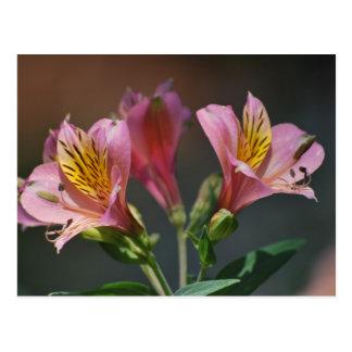 Flores rosadas y significado del lirio del inca postal