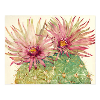 Flores rosados del cactus postal