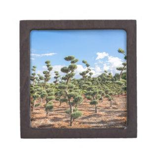 Formas hermosas del topiary en coníferas caja de regalo