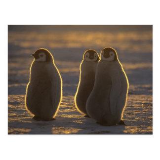 Forsteri de los pingüinos, del Aptenodytes de Postal