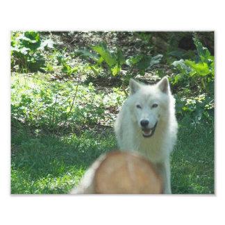 Foto ártica del lobo
