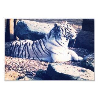 Foto blanca del tigre