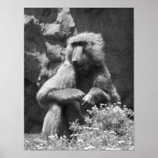 Foto blanco y negro del babuino póster