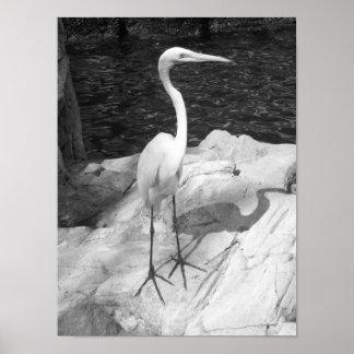 Foto blanco y negro del Egret Póster