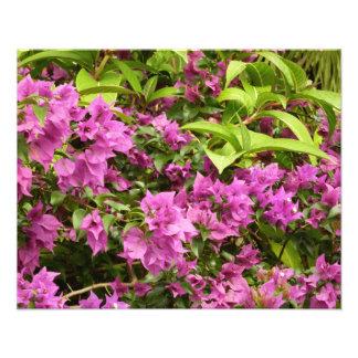 Foto Bougainvillea púrpura tropical