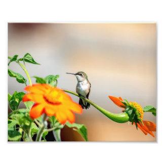 Foto colibrí 10x8 en una planta floreciente