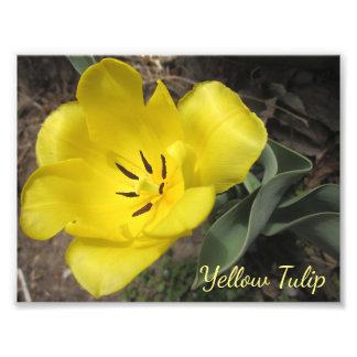 Foto común macra del tulipán amarillo de la