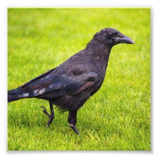 Foto Cuervo negro