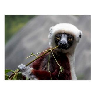 Foto del animal de la fauna del Lemur de Sefaka Postal