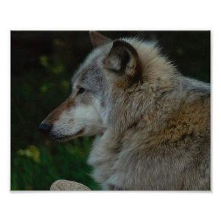 Foto del lobo gris
