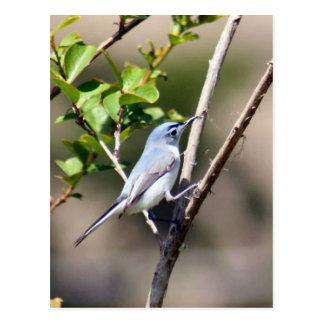Foto del pájaro del Gnatcatcher del gris azul