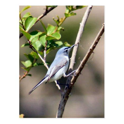 Foto del pájaro del Gnatcatcher del gris azul Postal