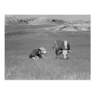 Foto del vintage de toros postal