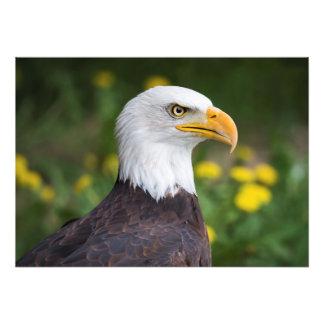 Foto Eagle calvo con diente de león impresión de las