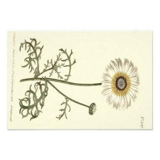Foto Ejemplo amarillo tricolor del crisantemo