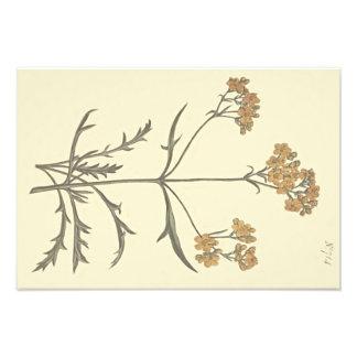 Foto Ejemplo botánico de la valeriana siberiana