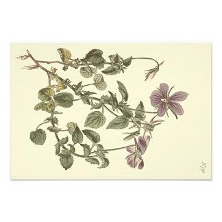 Foto Ejemplo botánico de la violeta de cuernos