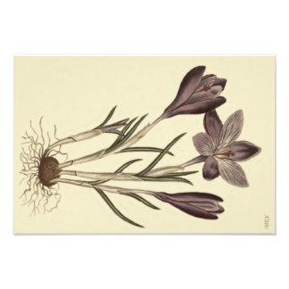 Foto Ejemplo botánico del azafrán púrpura grande de la