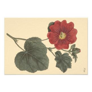 Foto Ejemplo botánico del Hollyhock de Seringapatam