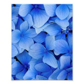 Foto Flores azules del Hydrangea