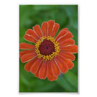 Foto Fotografía floral de Zinna del flor anaranjado de