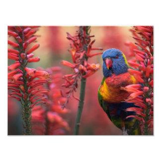 """Foto """"Impresión del áloe 18x24 rojo de Lorikeet del"""