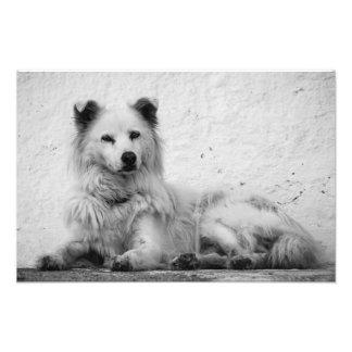 Foto Impresión - perro blanco alerta en Santorini,