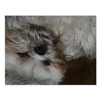 foto linda adorable del perro de perrito del tzu d postal
