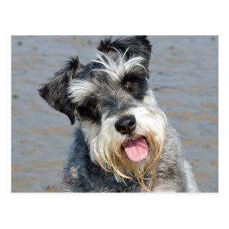 Foto linda del perro miniatura del Schnauzer en la Postal
