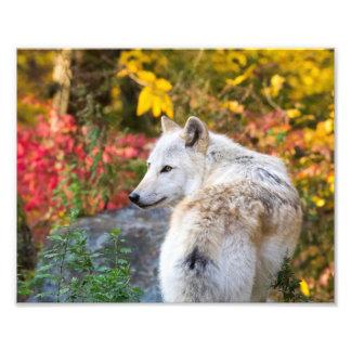 Foto Lobo del otoño