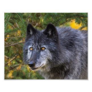 Foto Lobo gris