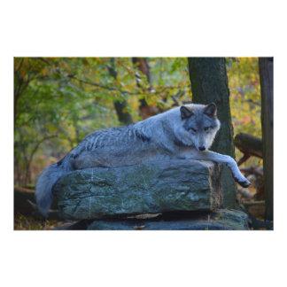 Foto Lobo gris que descansa en la caída