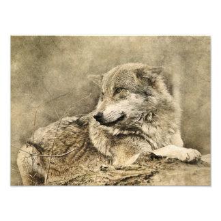 Foto Lobo imponente del vintage que se acuesta