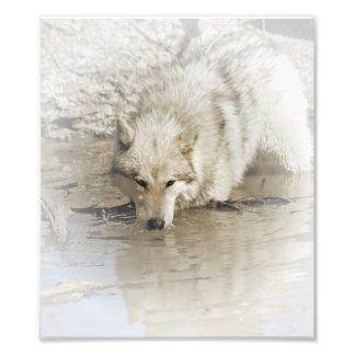 Foto Lobo que ronda en ilustraciones originales de la