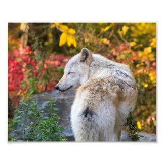 Foto Lobo sereno del otoño