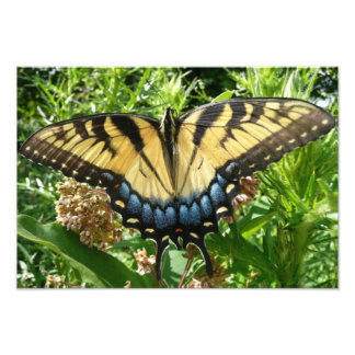 Foto Mariposa de Swallowtail II en Shenandoah